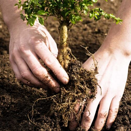 Tree Planting-Carrollwood FL Tree Trimming and Stump Grinding Services-We Offer Tree Trimming Services, Tree Removal, Tree Pruning, Tree Cutting, Residential and Commercial Tree Trimming Services, Storm Damage, Emergency Tree Removal, Land Clearing, Tree Companies, Tree Care Service, Stump Grinding, and we're the Best Tree Trimming Company Near You Guaranteed!